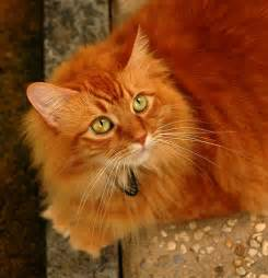 orange cats most beautiful orange cat about cats