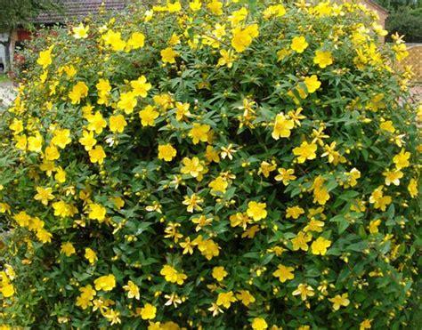 summer flowering shrubs sun back garden hypericum hidcote st john s wort yellow flowering shrub blooms summer needs sun