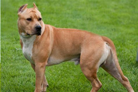 american staffordshire terrier  guia mais completo da