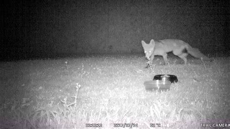 marder gegen katze der marder jagt die katze wildkamera