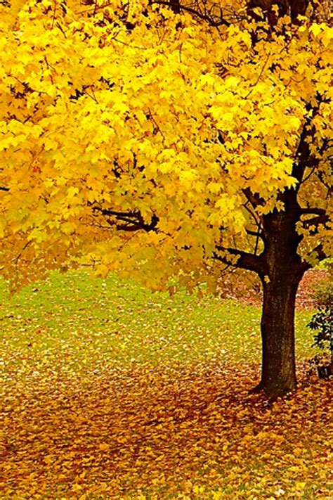 tree with yellow leaves in fall autumn tree iphone wallpaper hd