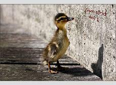 Können Enten lesen? Foto & Bild tiere, tierkinder, funny