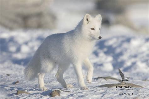 polarfuchs uwe naeve naturfotografie