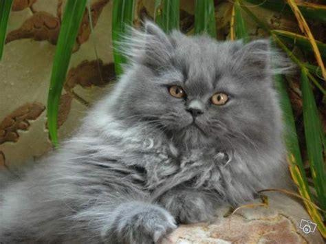 chat persan gris prix d un chaton persan annonces chatons