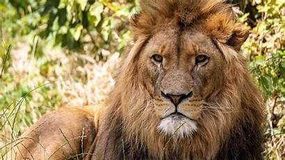 Lion 4k Animal Wallpapers Ultra 1080 1920