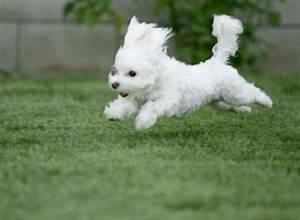 Cute little white dogs. | Stuff My Dog Hates