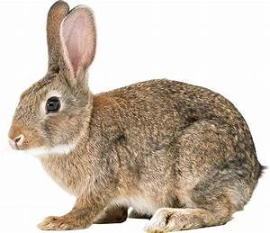 Rabbit PNG Images Free Png Rabbit Pictures Download