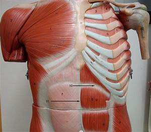Anatomy Lab Photographs Chest Muscles