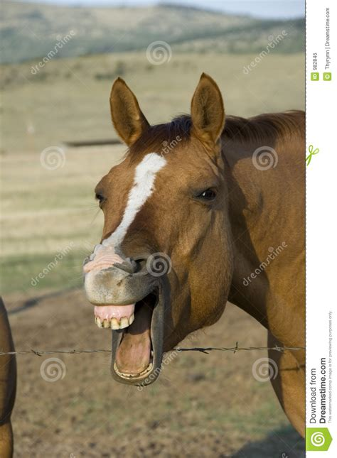 laughing horse royalty  stock image image