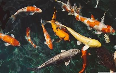 Koi Desktop Fish 4k Wallpapers Ultra Backgrounds