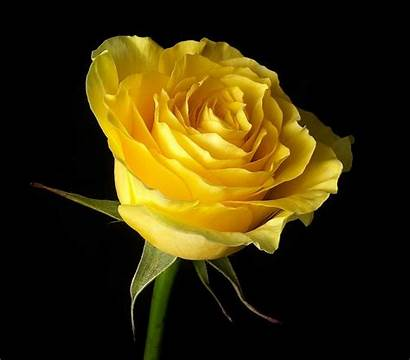 Yellow Rose Texas Roses Flower Yellowrose Flowers