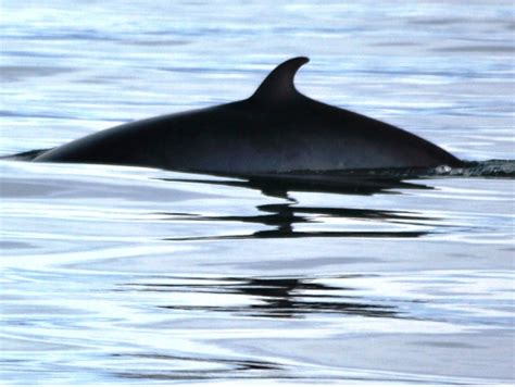 Rib Boat Tours Reykjavik by Iceland Express Whale And Puffin Tour From Reykjav 237 K By