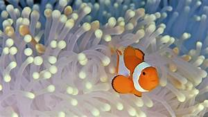Clownfish Full HD Wallpaper and Background Image ...