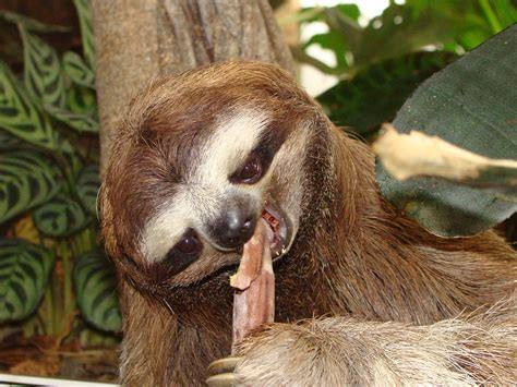 10 Weird And Wonderful Sloth Facts
