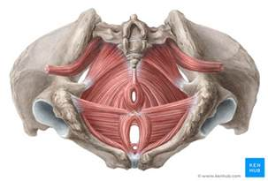 muscles of the pelvic floor muscles of the pelvic floor anatomy and function kenhub