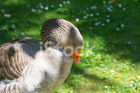 Elegant Colorful Goose In A Garden Stock Photos