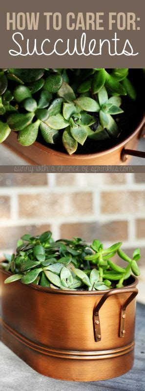 how to care for potted succulents how to care for succulents garden gardening succulents plants succulent pot gardening pot