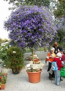 lycianthes rantonnetii der enzianstrauch blau bluhende With französischer balkon mit arbeitnehmerüberlassung garten und landschaftsbau