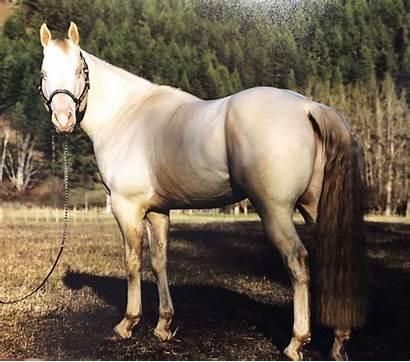 Horse Perlino Quarter Standing Stud Stallion Markings