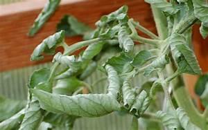 Tomatenblätter Rollen Sich Ein : eingerollte bl tter an tomaten wir sind im garten ~ Lizthompson.info Haus und Dekorationen