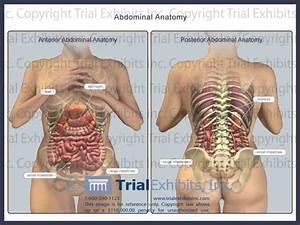 Anatomy Of The Abdominal Area