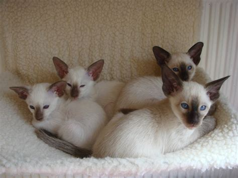 Kittens For Sale by Siamese Kittens For Sale Wolverhton West Midlands
