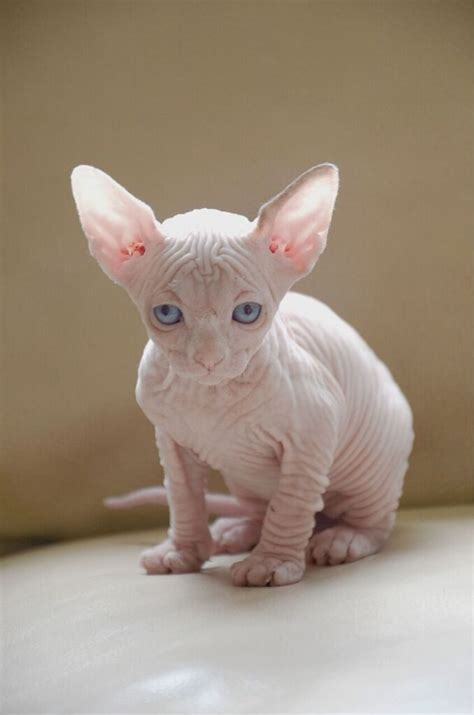 Buy Sphynx Cat  Sphynx Cat Prices  Sphynx Cats Ny