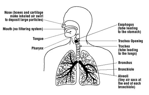 effects  dust   lungs osh answers
