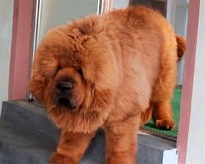 Red Tibetan Mastiff Puppy | www.pixshark.com - Images ...