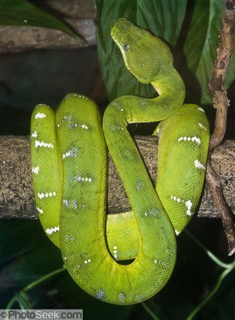emerald tree boa corallus caninus rainforest snake