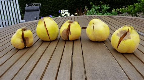 https://www.gardeningknowhow.com/edible/fruits/quince/quince-fruit-cracking.htm