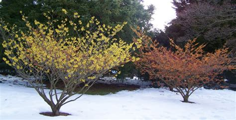 witch hazel tree images www thehoneytreenursery com