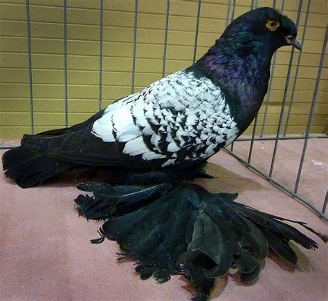 pigeon trumpeter german crested beak tambour pigeons deutsche