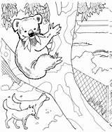 Koala Coloring Pages Animals Wildlife Bear Animal Australian Zoo sketch template