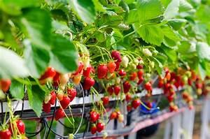 Plant De Fraise : fraisier ana s culture et entretien du fraisier ana s ~ Premium-room.com Idées de Décoration