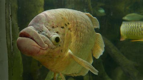 Bid Fish Big Fish With Big Looks Black Zoo Aquarium