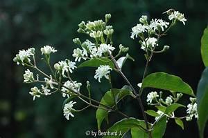 Garten Pur Forum : galeriebild heptacodium jasminoides ~ Lizthompson.info Haus und Dekorationen