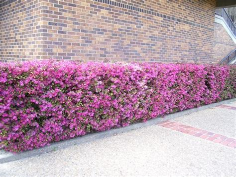 chinese fringe flower flowering hedge candidate pretty