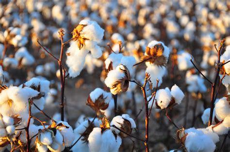 File:Cotton field kv30.jpg