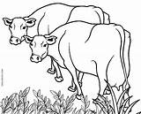 Coloring Pages Printable Cow Cows Drawing Easy Colorado Colouring Adults Cool2bkids Farm Getcolorings Drawings Scribblefun Paintingvalley sketch template