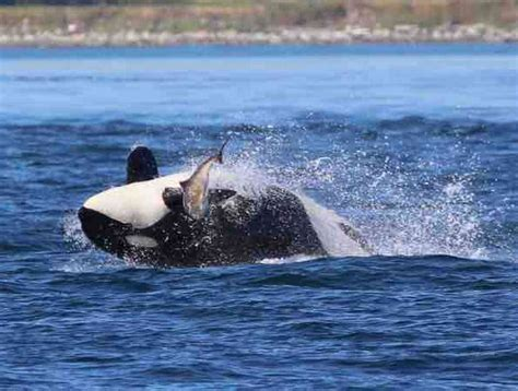 Whale Watch Tours From The Olympic Peninsula