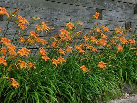 ditch lilies en masse gardenorg