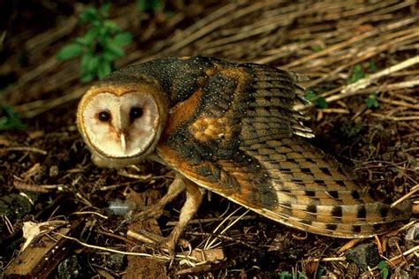 picture    barn owl tyto alba pictures images