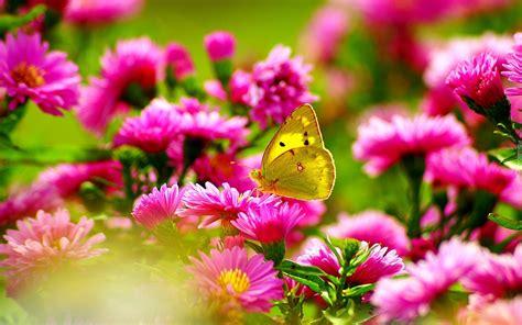 Żółty, Motyl, Różowe, Astry, Lato   Motyle, Aster, Lato
