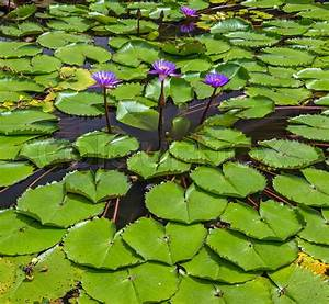 Lotus Flowers Blooming  Lotus Leaf Water Lily Flower On
