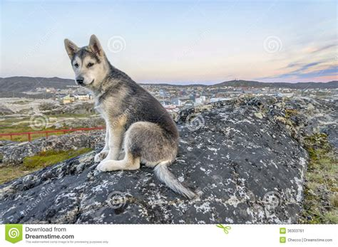 young greenland husky sitting  front  ilulissat stock