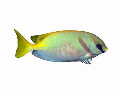 Doliatus Siganus Rabbitfish Fish Common Aquarium Aquatic