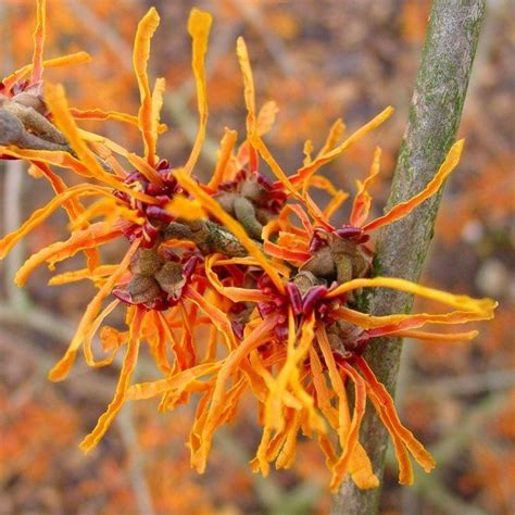 witch hazel tree for sale trio of colourful hamamelis witch hazel plants collection in bud flower now