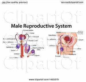 Clipart Of A Medical Diagram Of The Male Reproductive