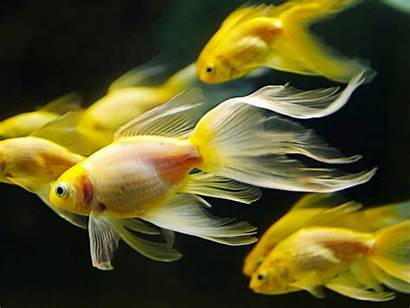 Fish Fishes Gold Goldfish Underwater Background Wallpapers13